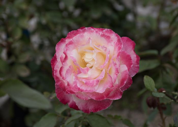 バラ(ダブル・デライト)の花。長居植物園で撮影