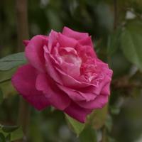 バラ(つるエデン・ローズ)の花