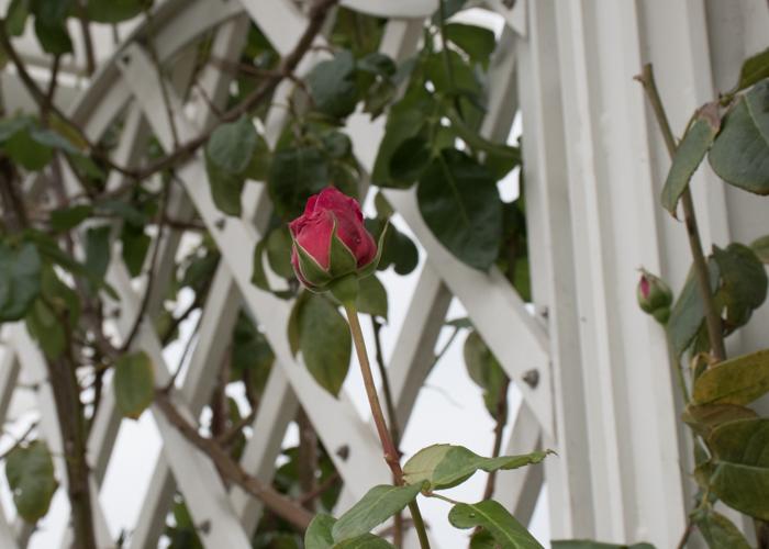 バラ(つるエデン・ローズ)のつぼみ。長居植物園で撮影