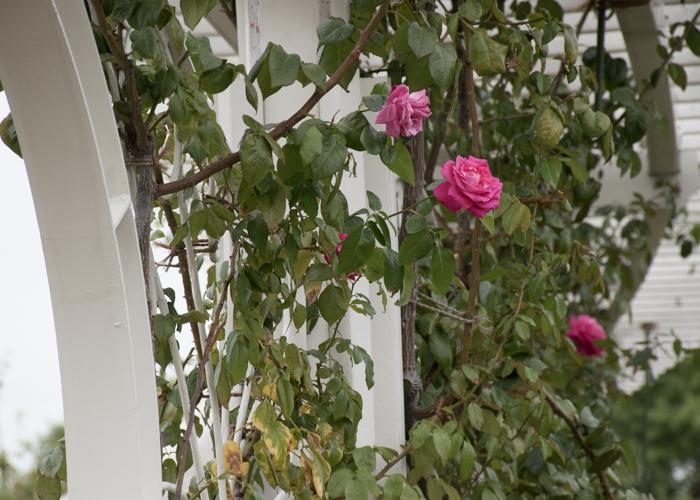 バラ(つるエデン・ローズ)の木。長居植物園で撮影