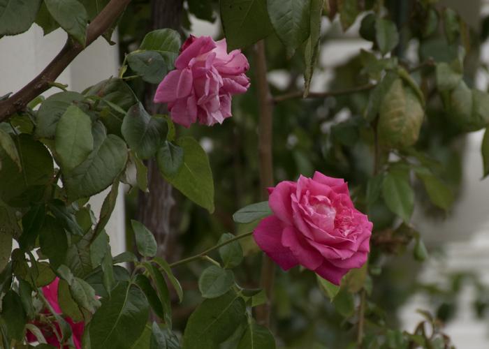 バラ(つるエデン・ローズ)の花。長居植物園で撮影