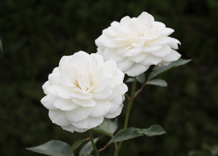 バラ(ファビュラス!)の花。長居植物園で撮影