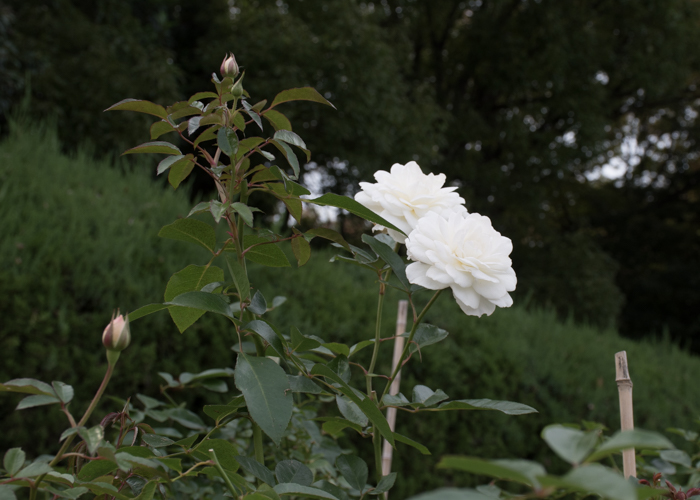 バラ(ファビュラス!)の花の横顔。長居植物園で撮影