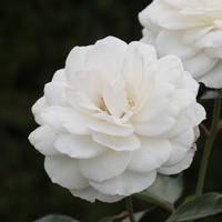 バラ(ファビュラス!)の花