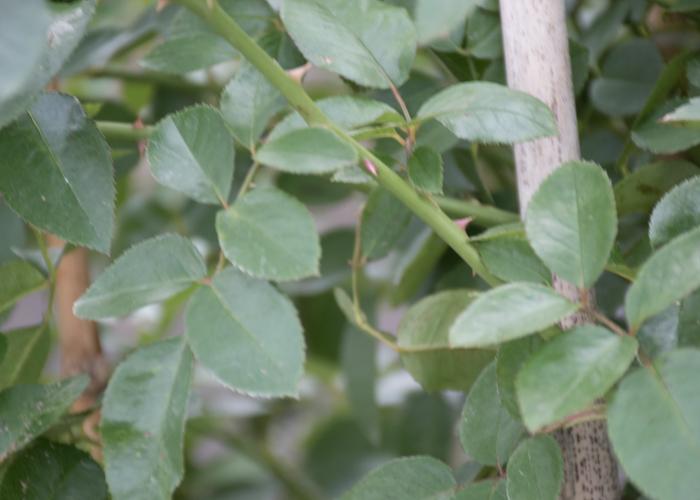 バラ(ファビュラス!)の枝とトゲと葉。長居植物園で撮影