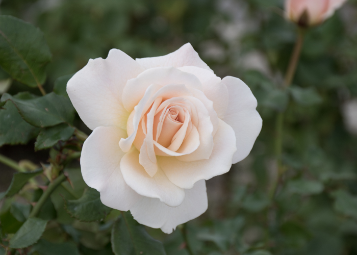 バラ(フレンチ・レース)の花。長居植物園で撮影