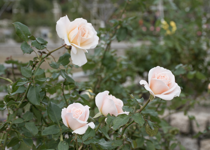 バラ(フレンチ・レース)の花の横顔。長居植物園で撮影