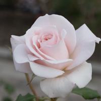 バラ(フレンチ・レース)の花