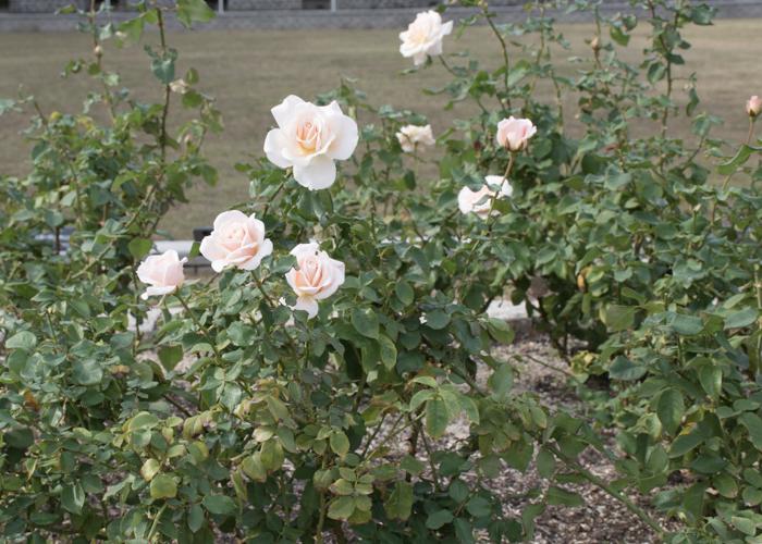 バラ(フレンチ・レース)の木全体。長居植物園で撮影