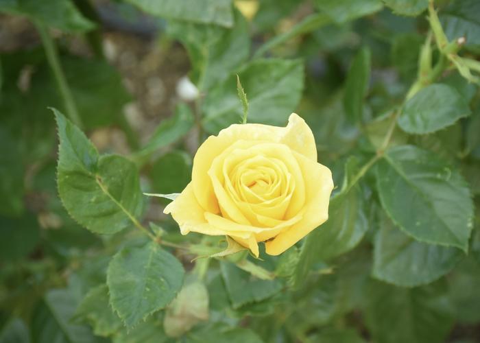 バラ(フリージア/サンスプライト)の花。荒巻バラ公園で撮影