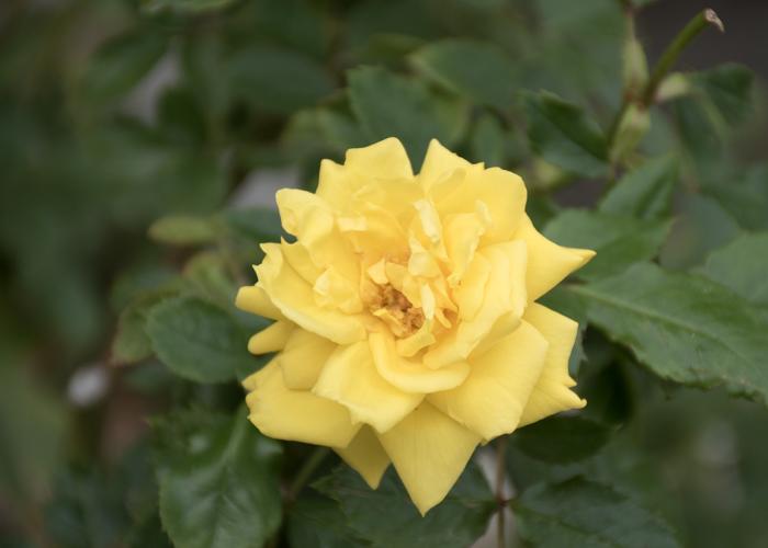 バラ(フリージア/サンスプライト)の花。長居植物園で撮影
