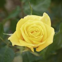 バラ(フリージア)の花