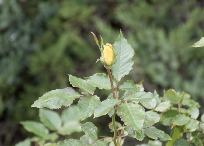 バラ(フリージア/サンスプライト)のつぼみ。長居植物園で撮影