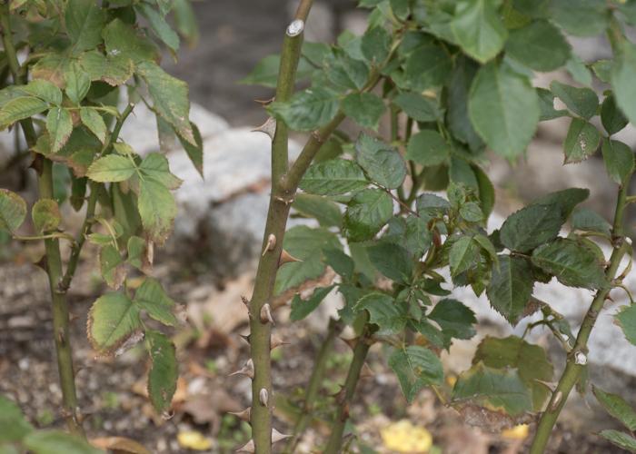 バラ(フリージア/サンスプライト)の枝とトゲと葉。長居植物園で撮影