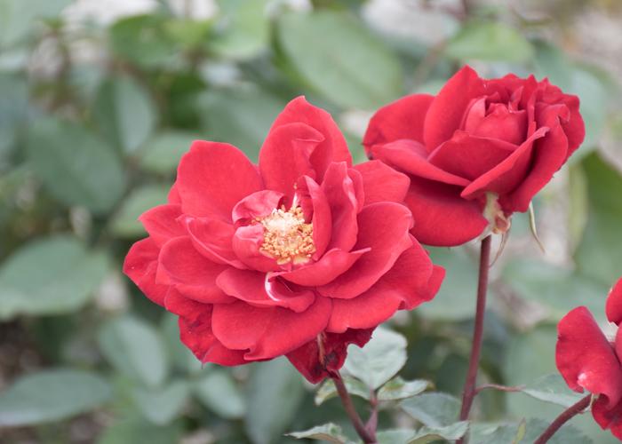 バラ(ガルテンツァウバー'84)の花のアップ。長居植物園で撮影