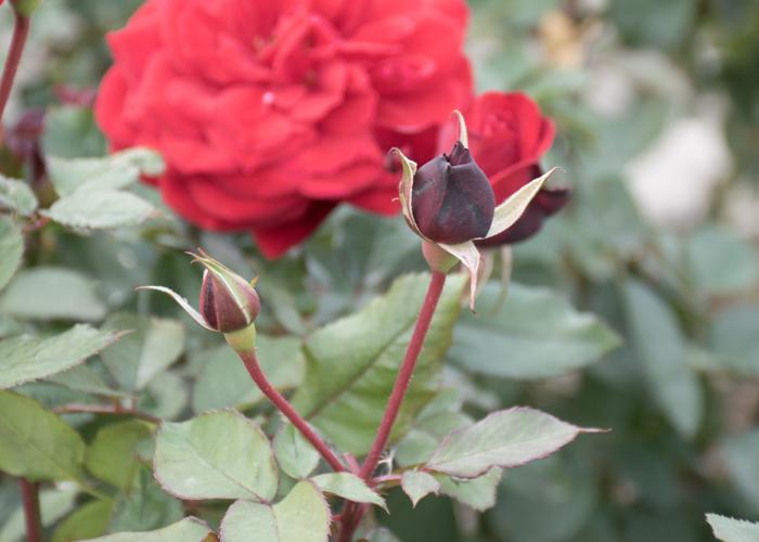 バラ(ガルテンツァウバー'84)のつぼみ。長居植物園で撮影