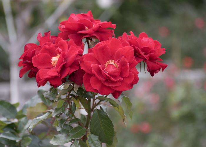 バラ(ガルテンツァウバー'84)の花。長居植物園で撮影