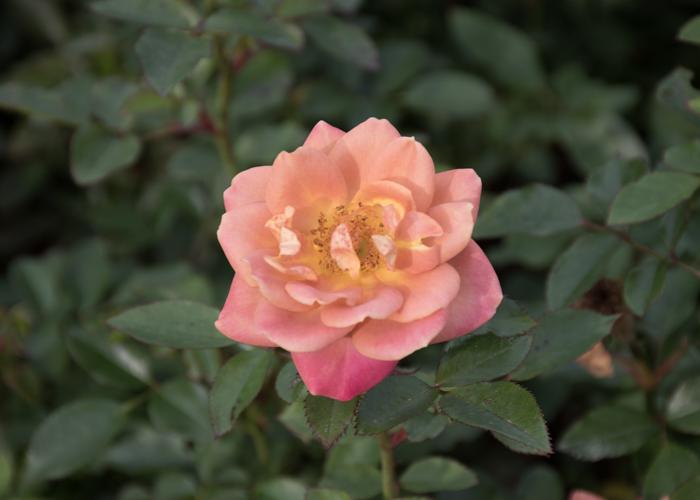 バラ(カレイドスコープ)の満開の花。長居植物園で撮影