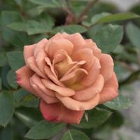 バラ(カレイドスコープ)の花