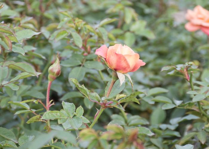 バラ(カレイドスコープ)の花とつぼみ。長居植物園で撮影