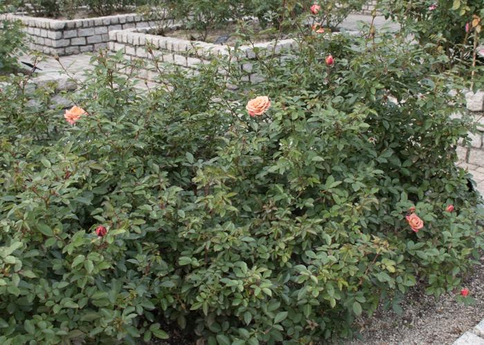 バラ(カレイドスコープ)の木全体。長居植物園で撮影