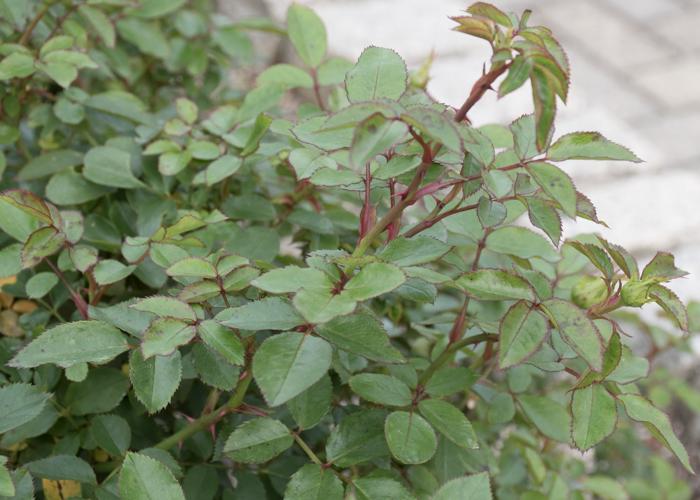 バラ(カレイドスコープ)の枝とトゲと葉。長居植物園で撮影