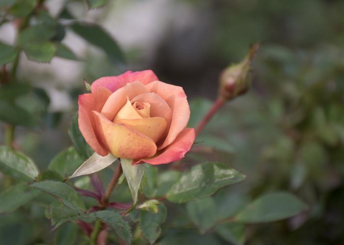 バラ(カレイドスコープ)の花。長居植物園で撮影