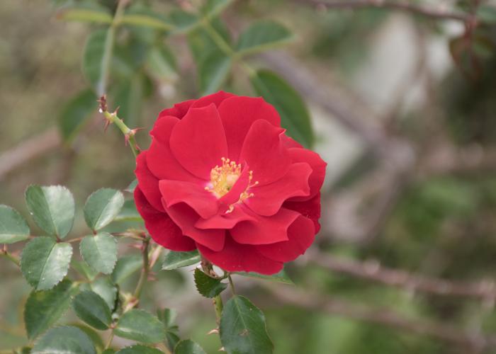バラ(マイナウフォイアー/マイナーフェアー)の花。長居植物園で撮影