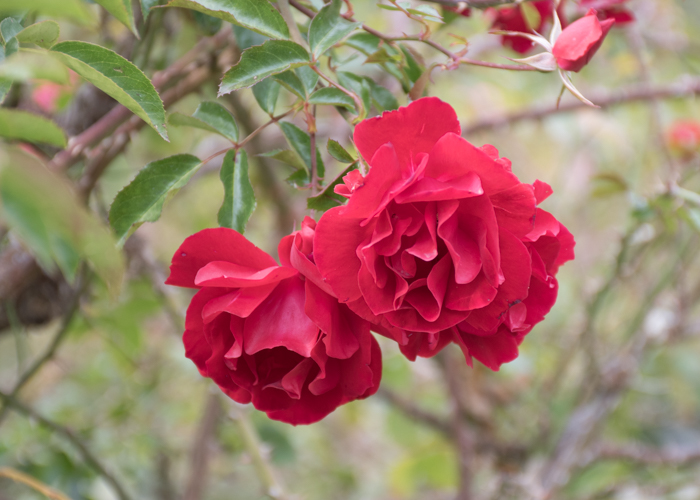 バラ(マイナウフォイアー/マイナーフェアー)の花の横顔。長居植物園で撮影