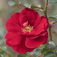 バラ(マイナウフォイアー/マイナーフェアー)の花