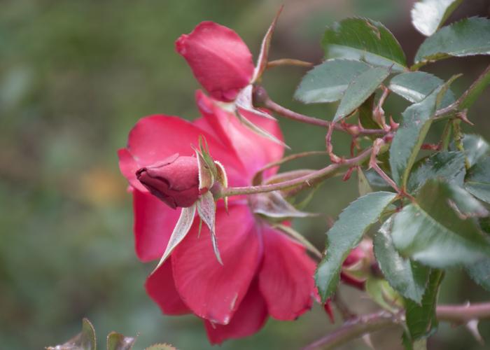 バラ(マイナウフォイアー/マイナーフェアー)のつぼみ。長居植物園で撮影
