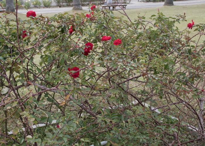 バラ(マイナウフォイアー/マイナーフェアー)の木全体。長居植物園で撮影