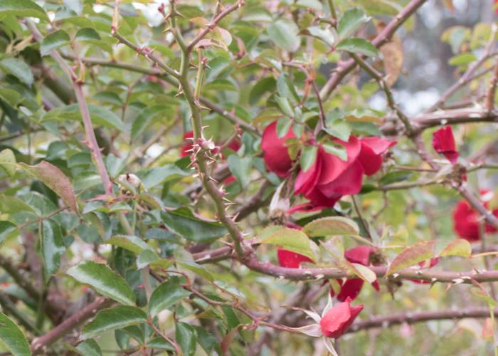 バラ(マイナウフォイアー/マイナーフェアー)の枝とトゲと葉。長居植物園で撮影