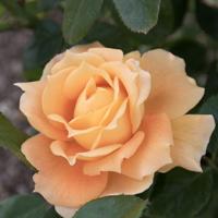 バラ(万葉)の花