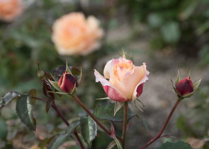 バラ(万葉)のつぼみ。長居植物園で撮影