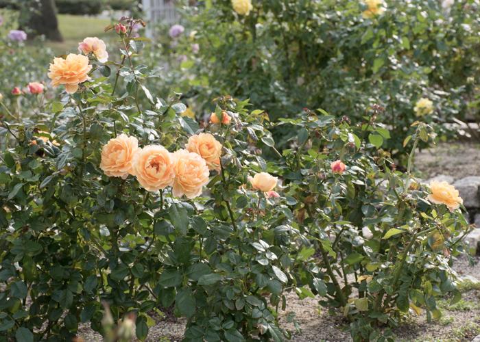 バラ(万葉)の木全体。長居植物園で撮影