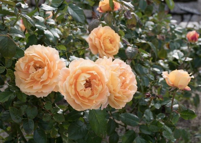 バラ(万葉)の花。長居植物園で撮影