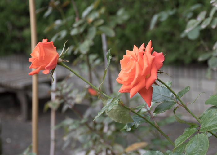 バラ(マリーナ)の花の横顔。長居植物園で撮影