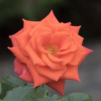 バラ(マリーナ)の花