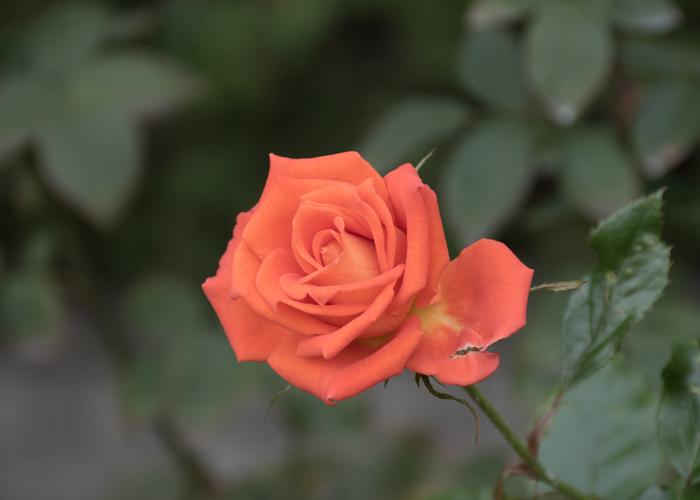 バラ(マリーナ)の花。長居植物園で撮影