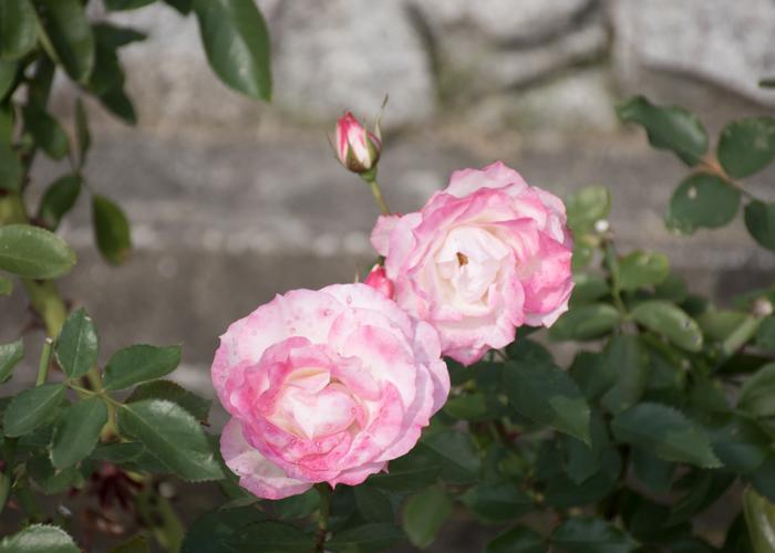 バラ(ニコール)の花。花博記念公園鶴見緑地で撮影