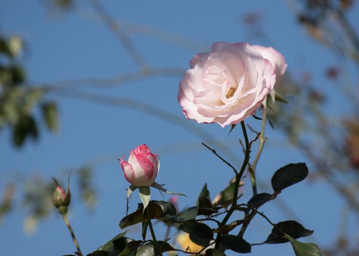 バラ(ニコール)の花と青空。庄堺公園で撮影