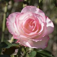 バラ(ニコール)の花