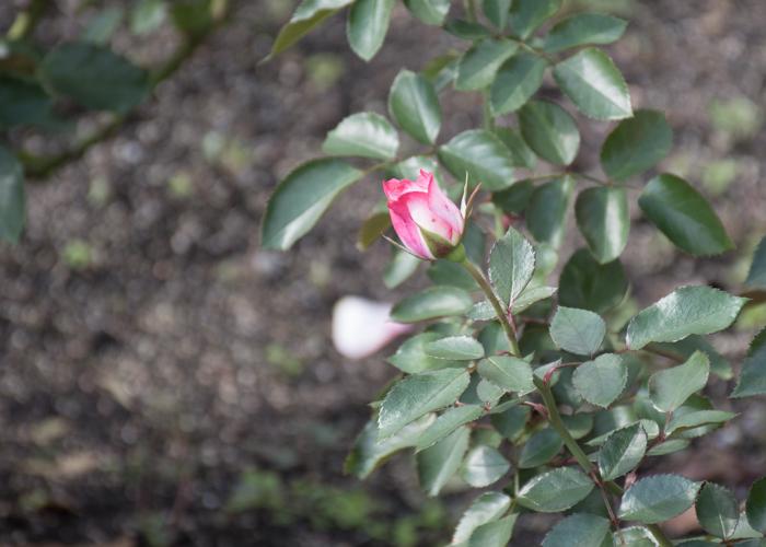 バラ(ニコール)のつぼみ。花博記念公園鶴見緑地で撮影