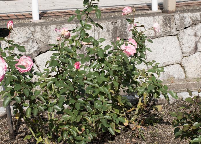 バラ(ニコール)の木全体。花博記念公園鶴見緑地で撮影