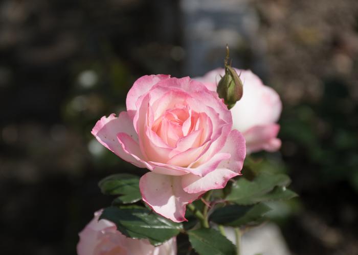 バラ(ニコール)の花のアップ。花博記念公園鶴見緑地で撮影
