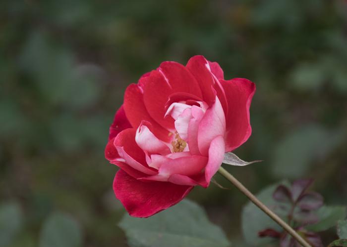 バラ(ピカソ)の花の横顔。長居植物園で撮影