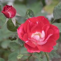 バラ(ピカソ)の花