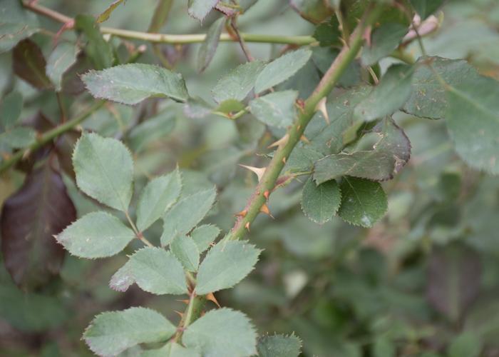 バラ(ピカソ)の枝とトゲと葉。長居植物園で撮影