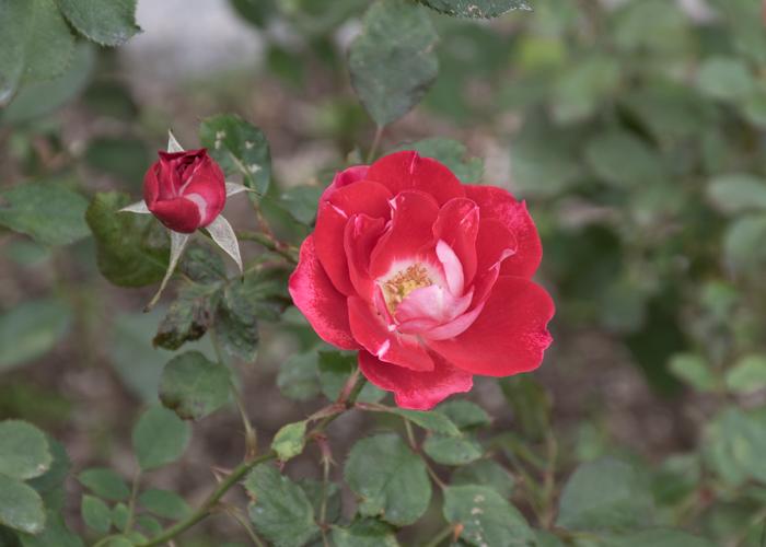 バラ(ピカソ)の花。長居植物園で撮影